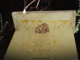 European Bee Swarm on a Leadbeaters Possum's Artificial Nest Box, Australia Fotoprint van Jason Edwards