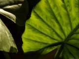Close-Up of a Green Leaf, Dahab, Egypt, Middle East Photographic Print by Brimberg &amp; Coulson 