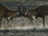Close Up of Two Ibexes Sparring with their Horns Locked Together Photographic Print by James L. Stanfield