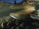 Chum Salmon Swimming Upstream to Spawn Photographic Print by Bill Curtsinger