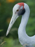 Brolga Crane at the International Crane Foundation, Baraboo, Wisconsin Photographic Print by Joel Sartore