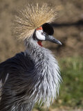 Captive East African Crowned Crane, Santa Barbara, California Photographic Print by Rich Reid