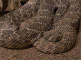 Diamondbacked Rattlesnake at the Henry Doorly Zoo, Omaha Zoo, Nebraska Photographic Print by Joel Sartore
