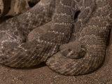 Diamondbacked Rattlesnake at the Henry Doorly Zoo, Omaha Zoo, Nebraska Photographic Print by Joel Sartore
