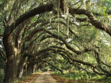 Ancient Live Oak Trees in Georgia Photographie par Maria Stenzel