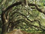 Ancient Live Oak Trees in Georgia Fotografie-Druck von Maria Stenzel