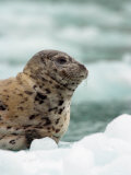 Harbor Seal Pup on Ice Floe, Alaska Photographic Print by Ralph Lee Hopkins