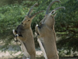 Close Up of Two Ibexes Rearing During a Sparring Competition Photographic Print by James L. Stanfield