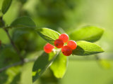 Berries in Wisconsin Photographic Print by Joel Sartore