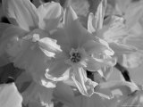 Copenhagen, Denmark-Daffodil Flowers in the Sun, Black and White Photographic Print by  Brimberg & Coulson