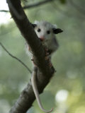 Baby Opossum near Greenleaf, Kansas Photographic Print by Joel Sartore