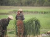Harvesting Rice Seedlings for Replanting in Siem Reap, Cambodia Photographic Print by Richard Nowitz