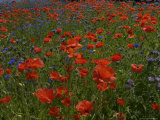 Denmark, Skagen, Garden of Red Poppies, Full Frame Impresso fotogrfica por Brimberg & Coulson
