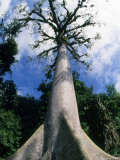 Ceba Tree Stands Tall near Mayan Ruins, Chiapas, Mexico Photographic Print by Kate Thompson