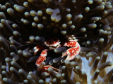 Anemone Crab Lurks Among the Tentacles of an Anemone Photographic Print by Tim Laman