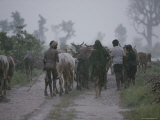 Bhil Tribals Herd Cattle in a Monsoon Rain near the Village of Walpur Photographic Print by James P. Blair