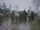 Bhil Tribals Herd Cattle in a Monsoon Rain near the Village of Walpur Photographic Print by James P. Blair
