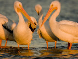 Group of American White Pelicans Photographic Print by Tim Laman