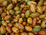 Cocoa Bean Pods of Varying Shades of Yellow, Green, and Red Fotografisk tryk af James L. Stanfield