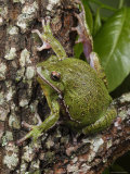 Barking Treefrog Sits on the Crotch of a Tree Limb Photographic Print by George Grall