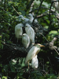 Cattle Egret with Juvenile Herons in Background Photographic Print by James P. Blair