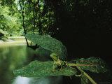 Common Agamid Lizard Sits on a Leaf above a Muddy Creek Fotografie-Druck von Mattias Klum