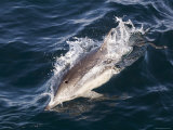 Common Dolphin Swimming, California Photographic Print by Rich Reid