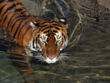Bengal Tiger Takes a Swim at a Zoo Photographic Print by Bates Littlehales
