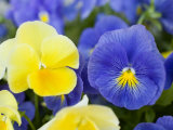 Close View of Pansies, Massachusetts Photographic Print by Tim Laman