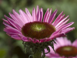 Close-Up of an Echinacea Flower, Groton, Connecticut Photographic Print by Todd Gipstein