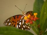 Gulf Fritillary Butterfly at the Lincoln Children's Zoo, Nebraska Fotoprint van Joel Sartore