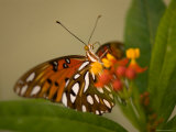 Gulf Fritillary Butterfly at the Lincoln Children's Zoo, Nebraska Photographic Print by Joel Sartore