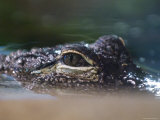 Alligator Eyes in the National Aquarium, Washington, D.C. Photographic Print by Rich Reid