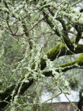 Close-Up of Moss Covered Wet Tree Branch, California Photographic Print by James Forte