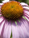 Close-Up of the Spiny Center of an Echinacea Flower, Groton, Connecticut Photographic Print by Todd Gipstein