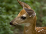 Fawn at a Wildlife Rescue Member's Home in Eastern Nebraska Photographic Print by Joel Sartore