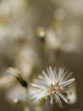 Fireweed Groundsel, Senecio Linearifolius, Seed Flower, Yellingbo Nature Reserve, Australia Photographic Print by Jason Edwards