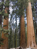 Giant Sequoias Trees above Round Meadow, California Fotografisk tryk af Rich Reid