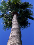 Frog's Eye View Looking Up a Palm Tree, Ventura, California Photographic Print by Stacy Gold