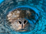 Harbor Seal at the Lincoln Children's Zoo, Nebraska Photographic Print by Joel Sartore