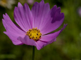 Close-Up of a Beautiful Purple Flower, Groton, Connecticut Photographic Print by Todd Gipstein