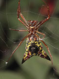 Arrow Shaped Micrathena Spider on its Orb Web Fotoprint van George Grall
