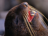 Close-Up of a Vocalizing Northern Fur Seal, Alaska Photographic Print by John Eastcott & Yva Momatiuk