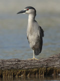 Black Crowned Night Heron Standing on One Leg, Baltimore, Maryland Photographic Print by George Grall