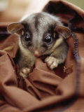 Endangered Leadbeaters Possum Caught in a Restraining Bag, Yellingbo Nature Reserve, Australia Photographic Print by Jason Edwards
