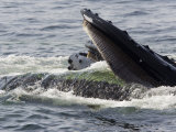 Humpback Whales Surface Feeding on Sand Eels, Massachusetts Photographic Print by Tim Laman