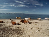 Cattle Rest on a Beach Photographic Print by Bill Curtsinger