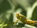 Grasshopper Sits on a Leaf in Lincoln, Nebraska Fotoprint van Joel Sartore