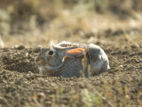 Cottontail Rabbit at Charles M. Russell National Wildlife Refuge Photographic Print by Joel Sartore