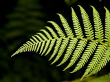 Detail of Asian Rain Forest Ferns, Singapore Photographic Print by Tim Laman